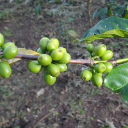 Nicaragua kafija LOS PAPALES