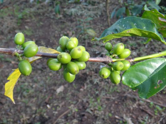 Nicaragua kafija Los Chicheros 1