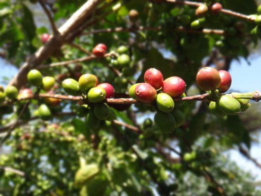 Ethiopia coffee Egu Abaye 2