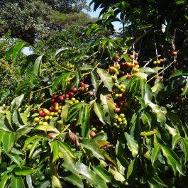 India MYSORE кофе