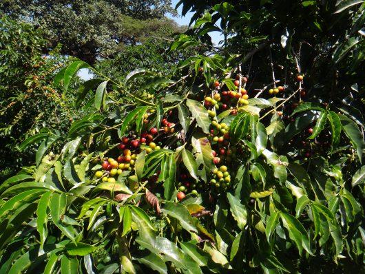 India MYSORE кофе 3