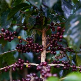 Guatemala coffee beans JABIRO