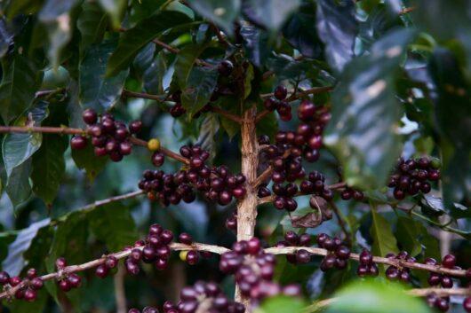gvatemala kafija